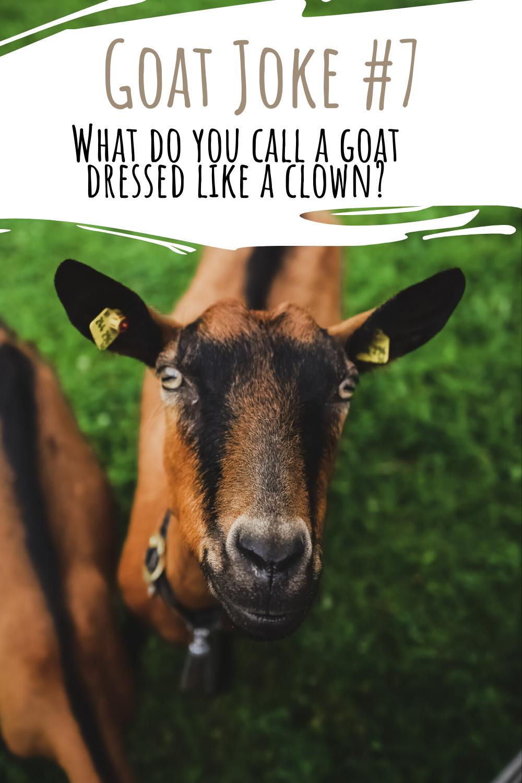 Goat Joke 7 Goats Jokes Animals