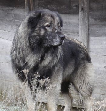 Yugoslavian Mountain Dog Never Heard Of It Before Caucasian