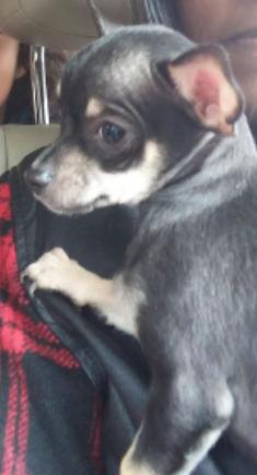 Chihuahua Puppy For Sale In Hinesville Ga Adn 52882 On Puppyfinder