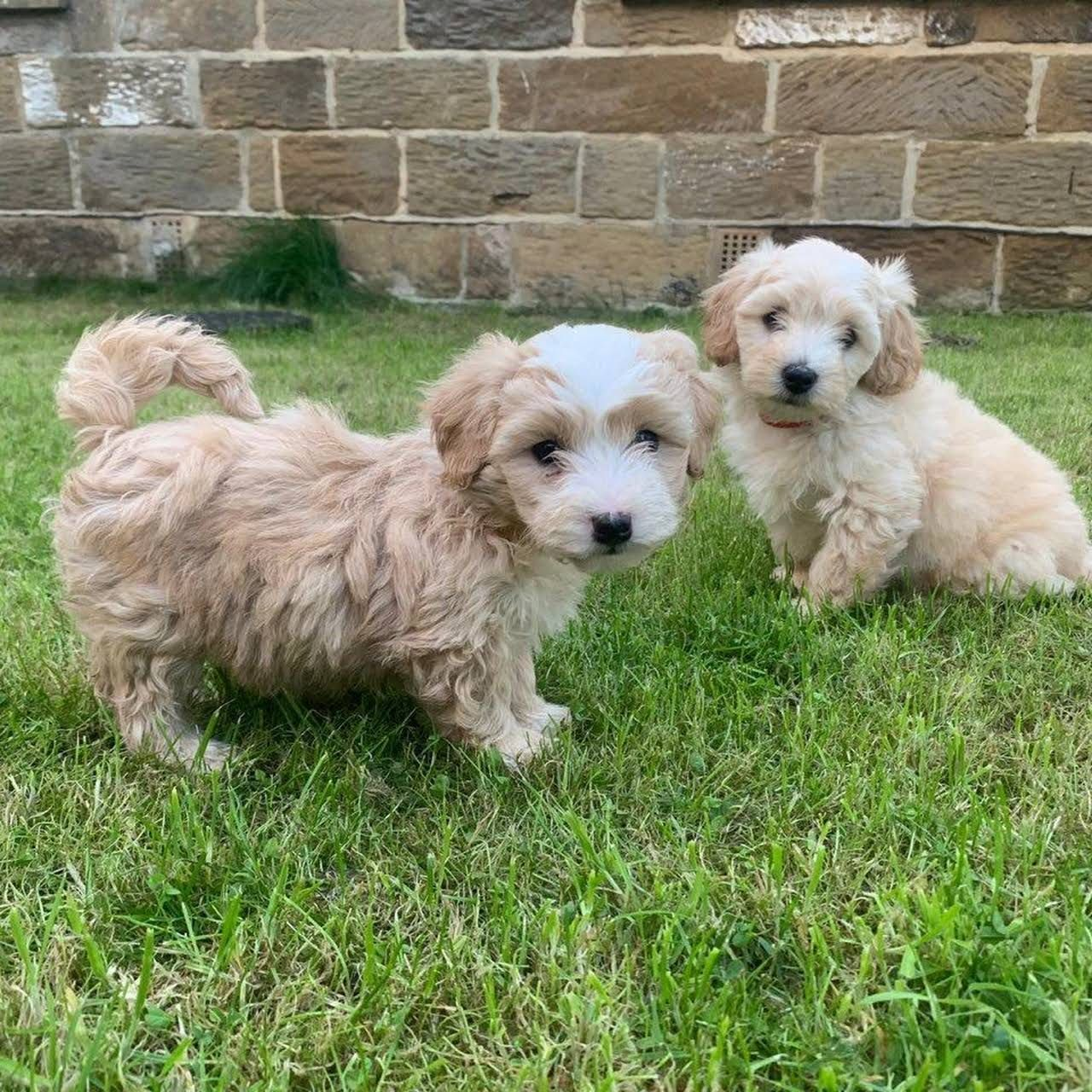 Pin By Teacup Maltese And Maltipoo Pu On Https Cymaltese Com Maltese Puppies For Sale Puppies For Sale Maltese Puppy