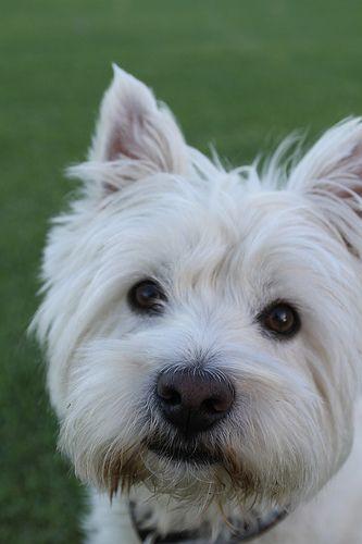 G Man Westie Dogs Westie Terrier Westies