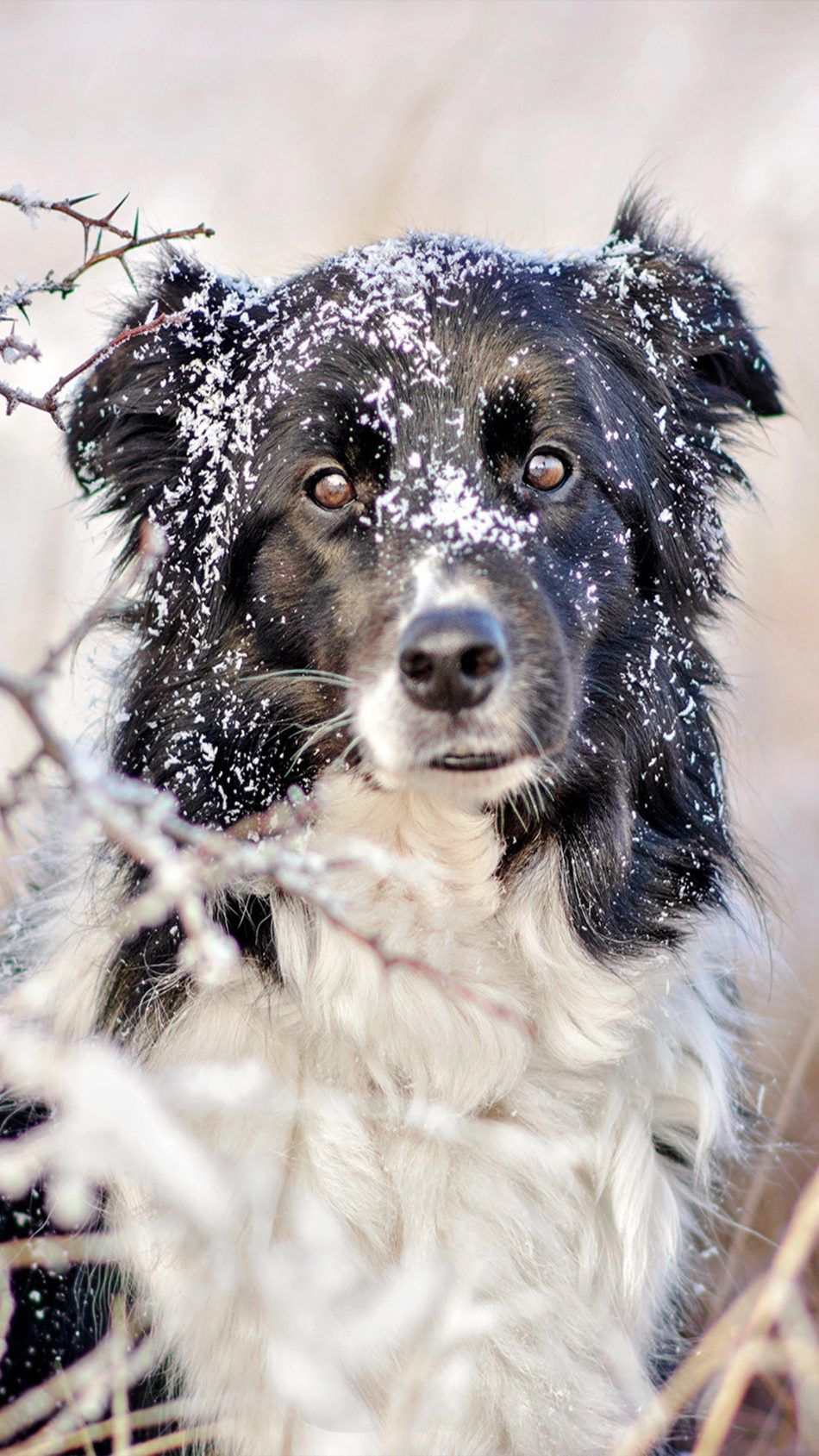 Pet Dog Stare Snow Dogs Pet Dogs Dog Wallpaper