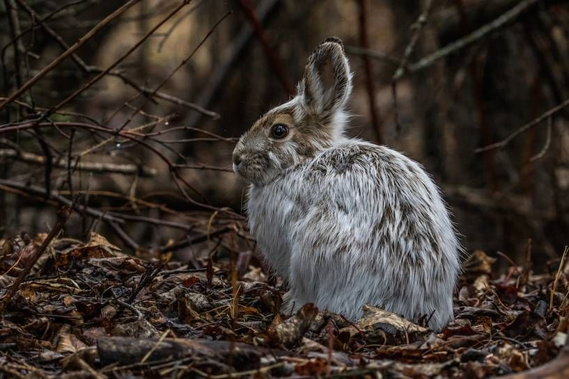 Photo Snowshoe Hare Changes Color With The Seasons Change Colour