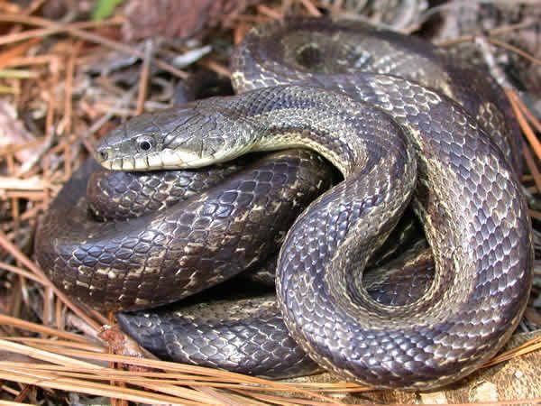 Gray Rat Snake Elaphe Obsoleta Spiloides Rat Snake Snake Beautiful Snakes