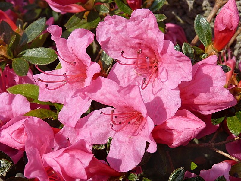 How To Grow Azalea Houseplants Houseplant411 Com Houseplant 411 How To Identify And Care For Houseplants Bulbous Plants Azalea Flower Plants