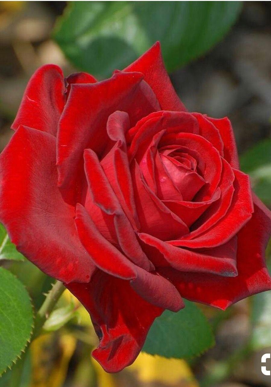 Beautiful red rose rosas pinterest beautiful red roses rose beautiful red rose izmirmasajfo