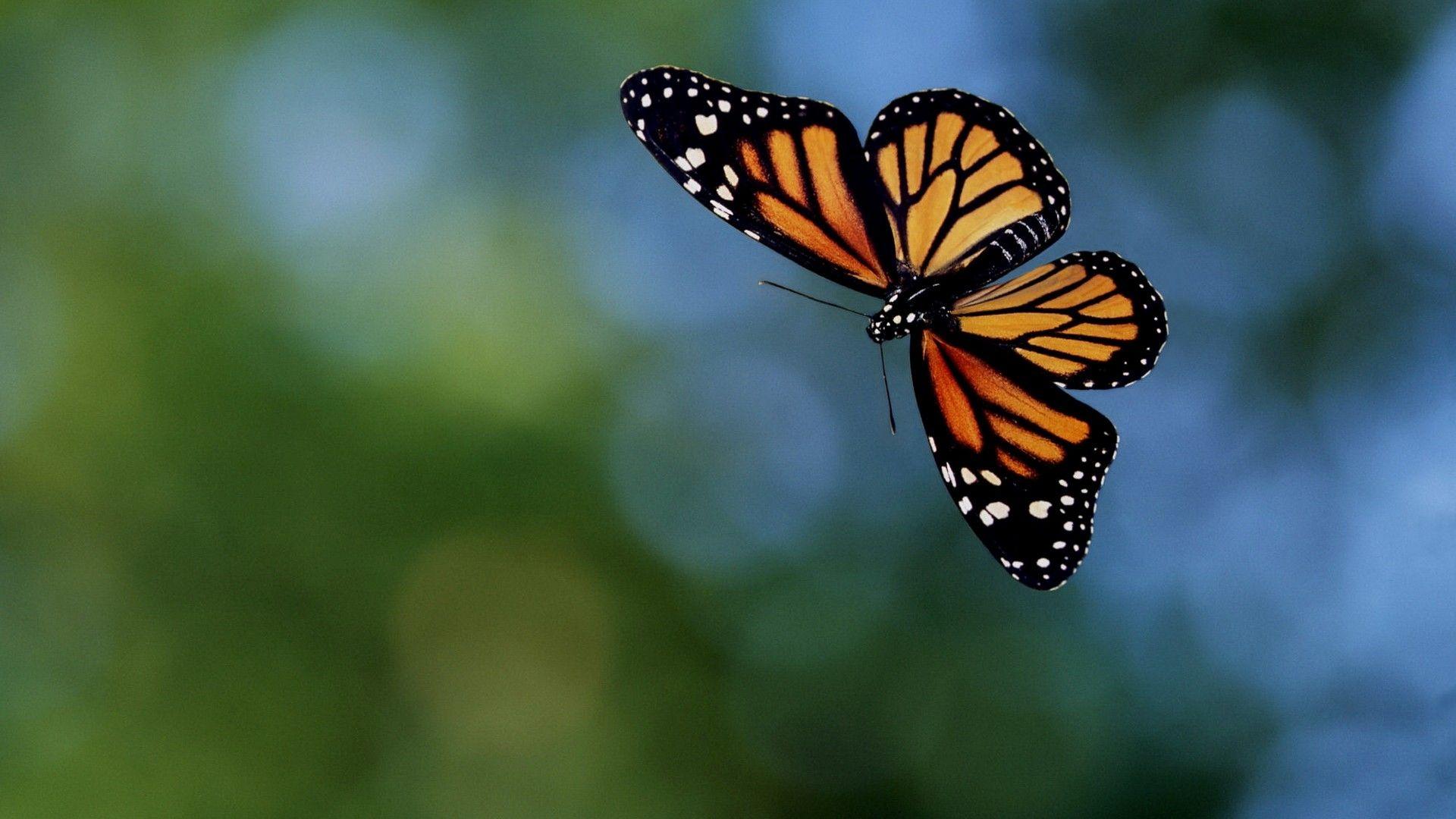 Hd Wallpaper Of Emerald Butterfly Flying Butterfly In Air Hd