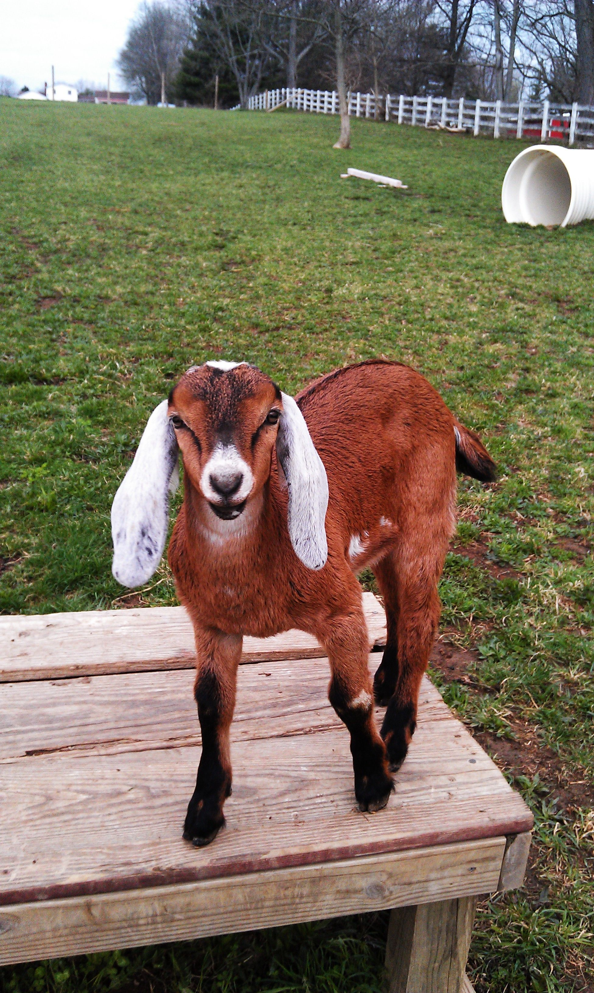 Big Water Farm Spartan is a first gen. Mini Nubian goat ...