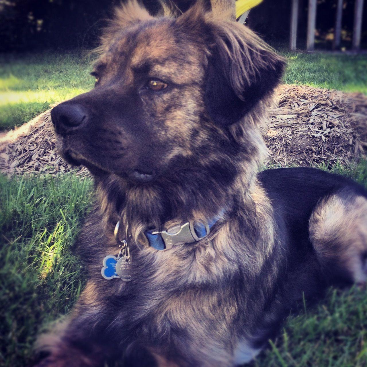 Mixedbreed Mutt Dog Shepherd Mix Medium Sized Dog American