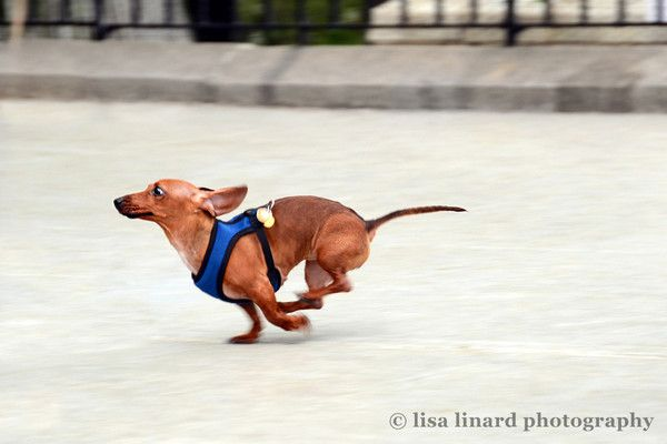He's a dachsund. And he's fast. Oh yeah. (c) Lisa Linard Photography.