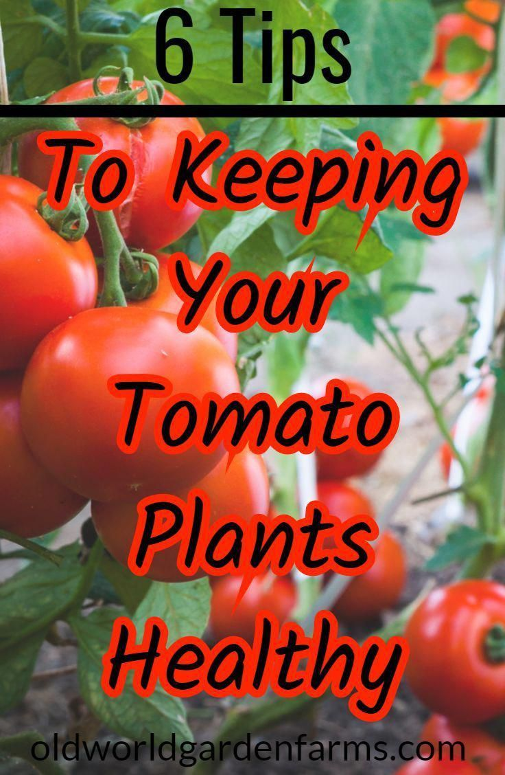 TipsTo Keeping Tomato Plants Healthy All Summer Long.