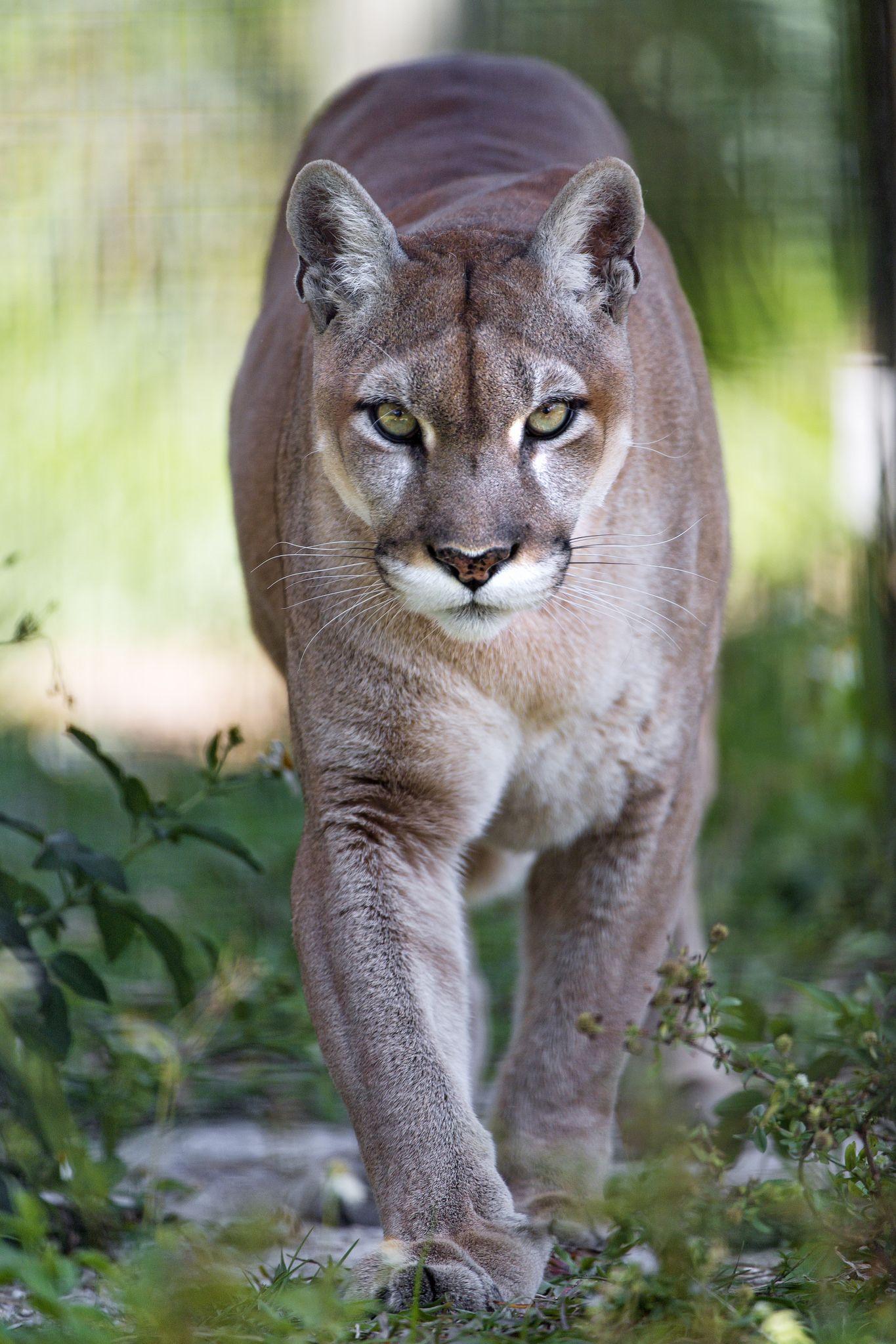 Puma walking towards me | Big cats
