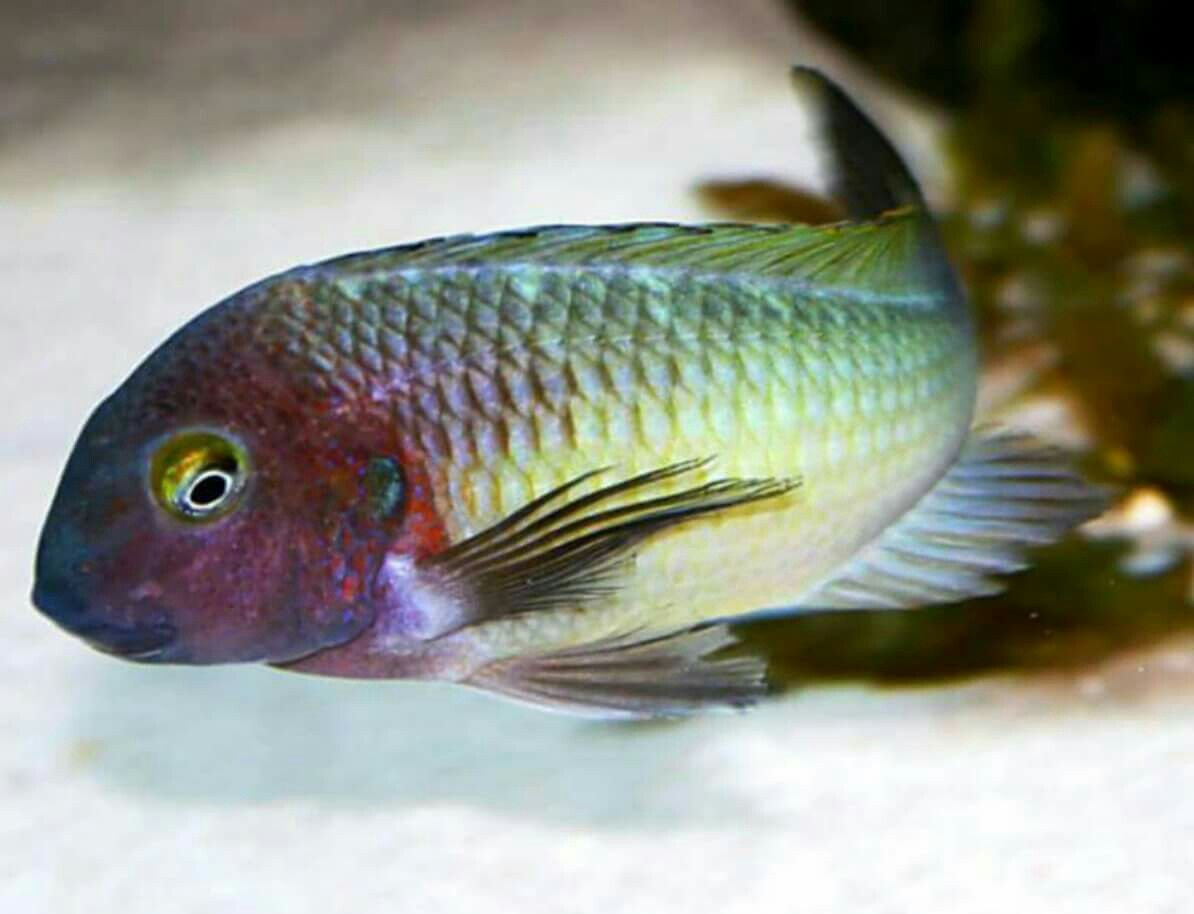 Tropheus Moori Chilambo Yellow Rainbow Cichlids African Cichlids Fish Pet