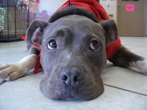 Pin On Pitbulls That Are Save A Bull