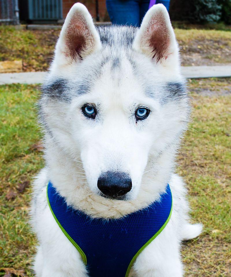 Siberian Husky Dog For Adoption In San Antonio Tx Adn 750428 On
