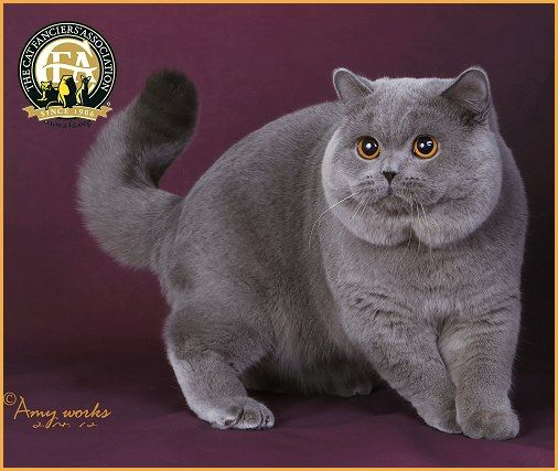 Cfa S Top Cats In Championship For The 2014 15 Show Season British Shorthair Cats British Shorthair Cats
