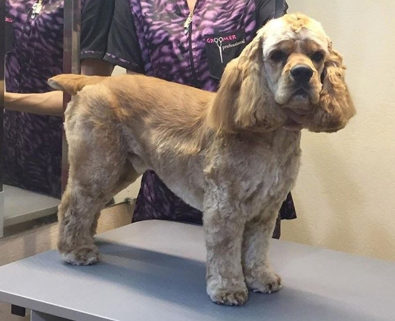 20 Best Cocker Spaniel Haircuts For Your Puppy Page 3 The Paws