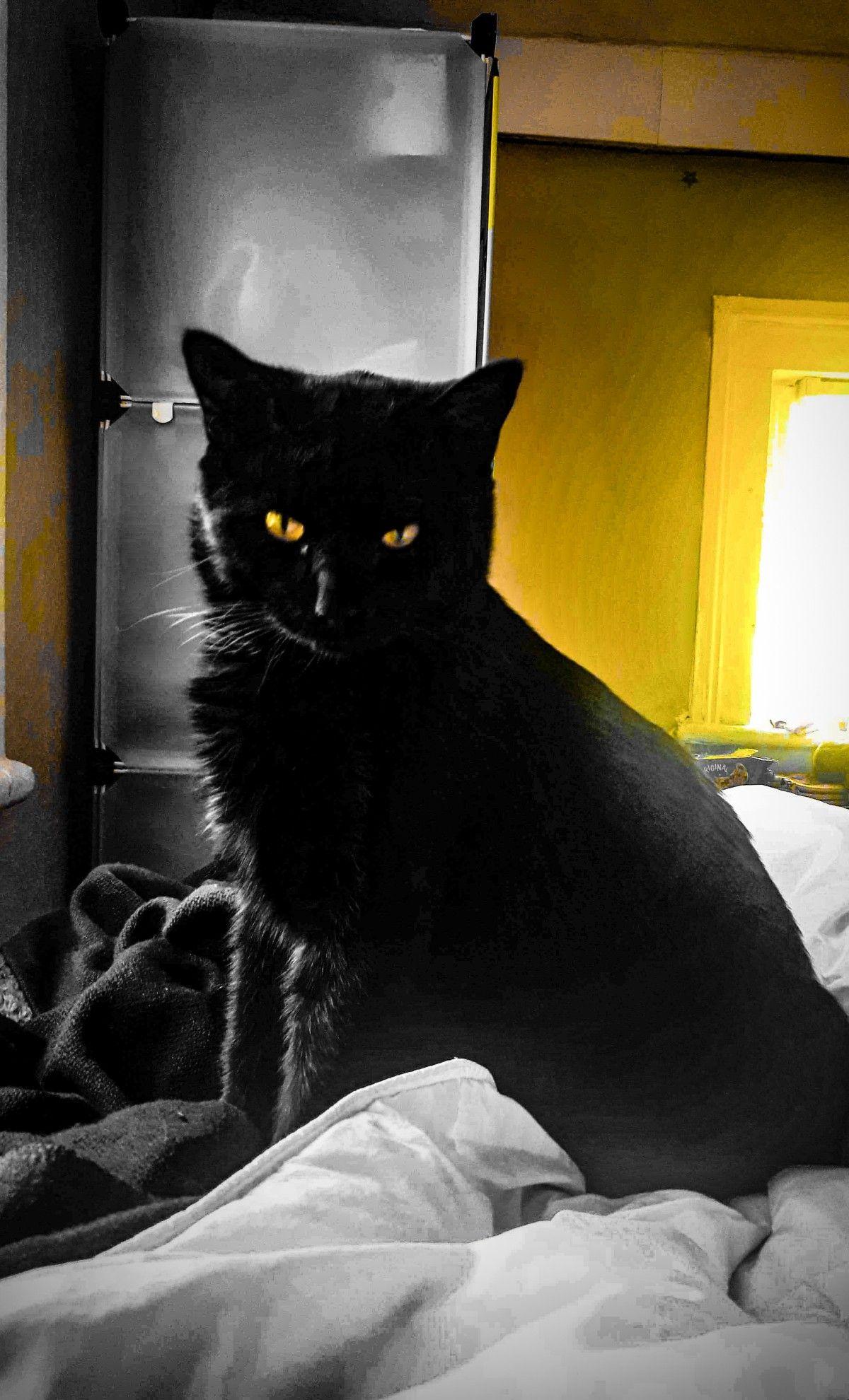 الصورة المجانية عالية الدقة من القط Totoro الأسود الألوان الأصفر الظلام غاتو الزنجي القط الأسود Cats Totoro Animals