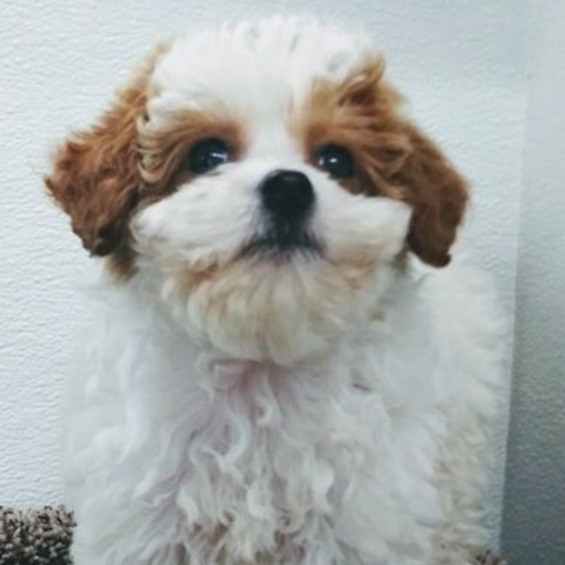 Petland Kansas City Has Cavapoo Puppies For Sale Check Out All