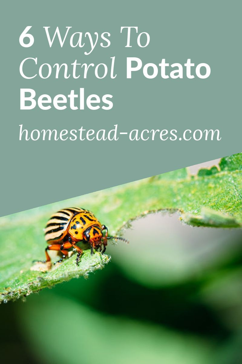 How to get rid of colorado potato beetles in 2020