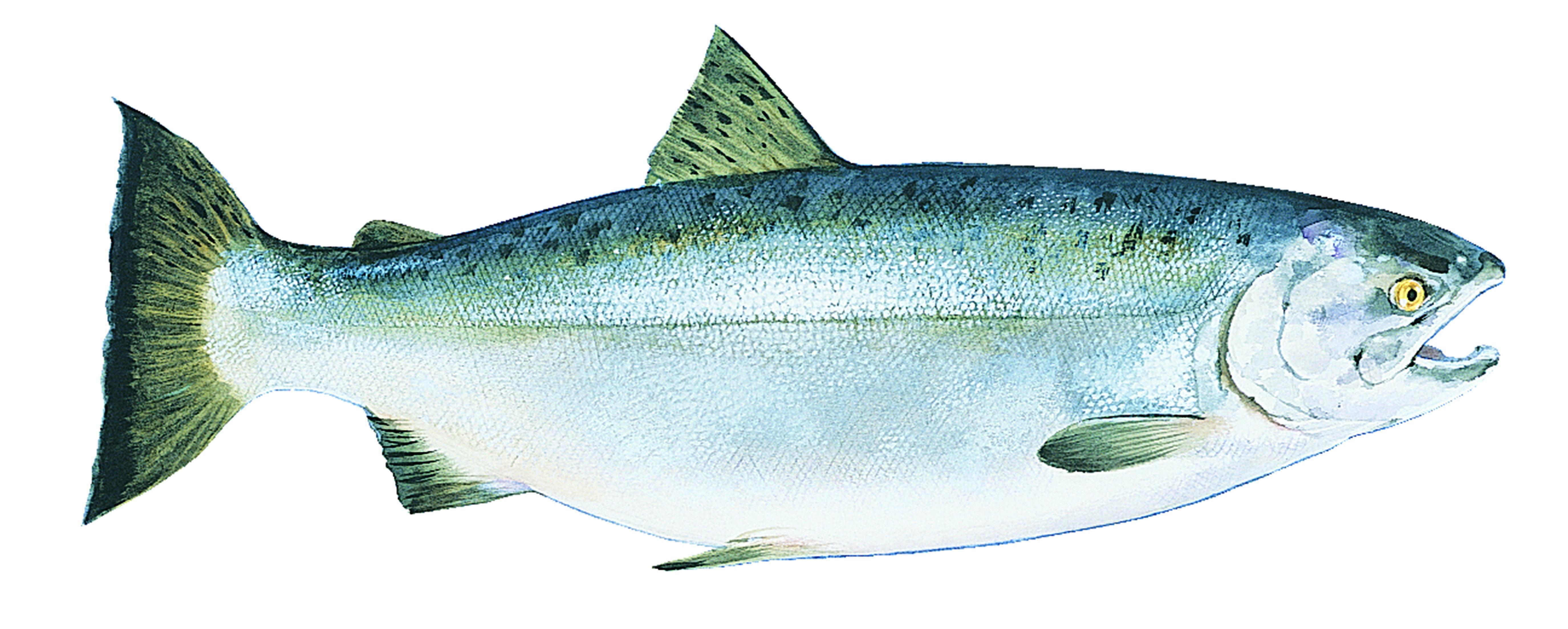 Coho Alaska Salmon
