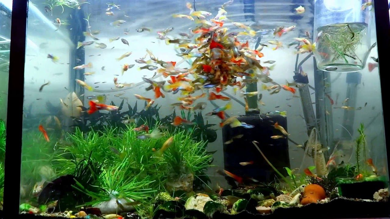 The Best Way To Feed Your Guppies Fish Tank Aquariums Freshwater Vs Salt Community Fish Tank Aquarium Fish Tank Guppy Fish