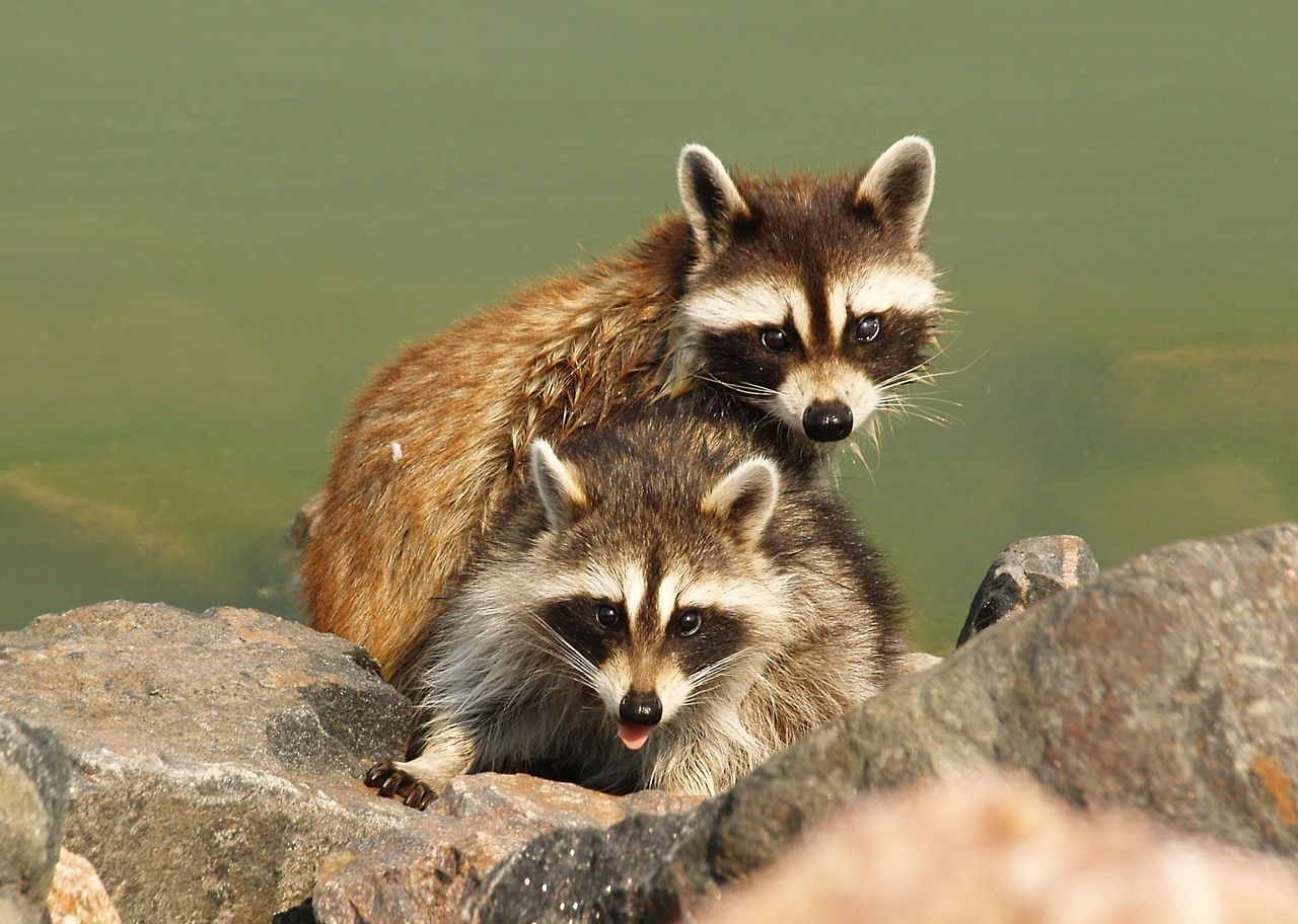 Highly intelligent and resourceful, raccoons are one of