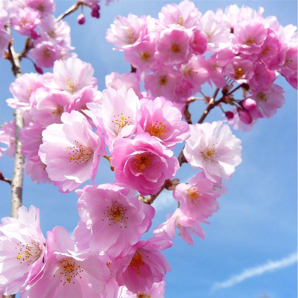 Vancouver Cherry Blossom Festival haiku invitational
