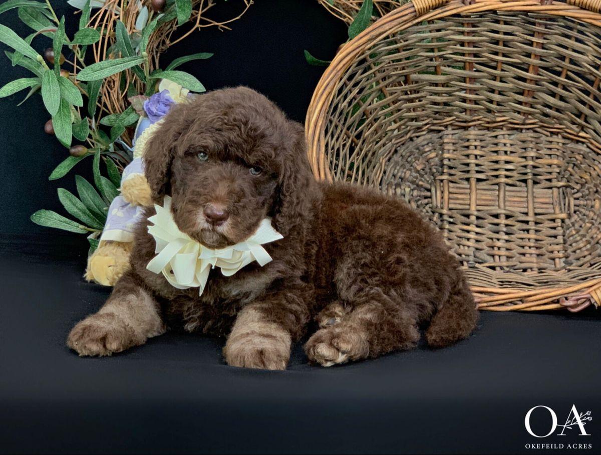 Okefeild Acres Teddybear Standard Goldendoodle In 2020 Goldendoodle Puppy Retriever Puppy Goldendoodle