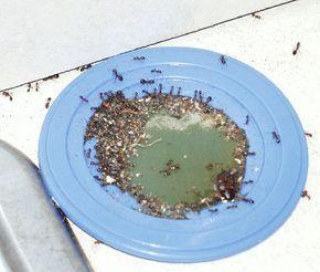 アリを駆除する殺虫剤をゴクゴク飲み ゴキブリや鼠も近づかない