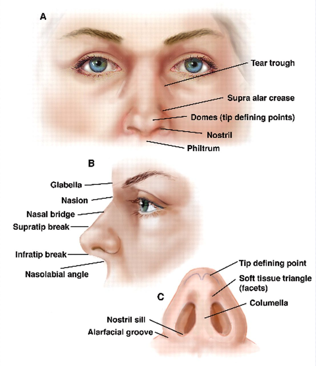 Human facial anatomy