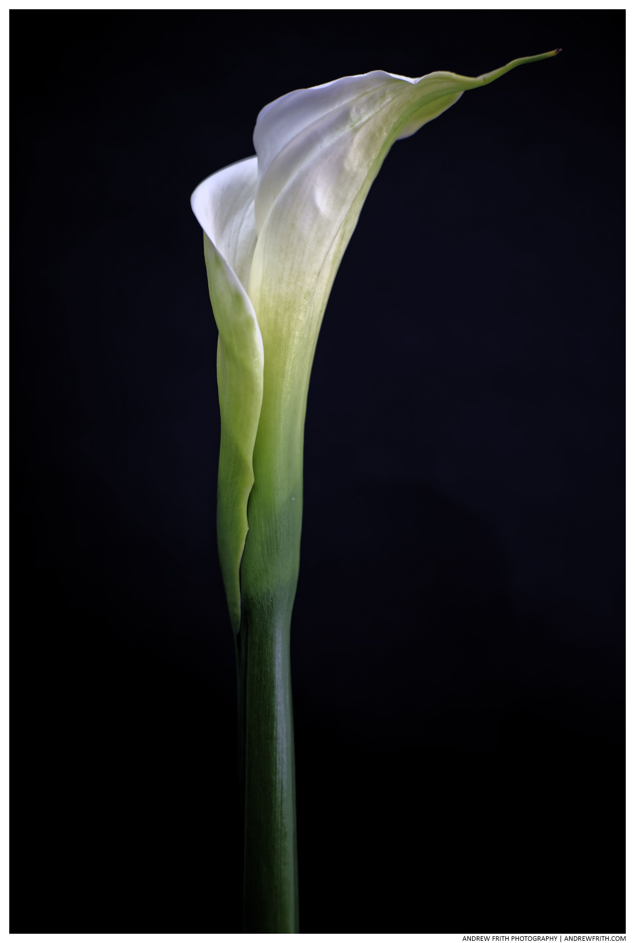 Calla Lily Photography Flowers Andrewfrith Andrew Frith