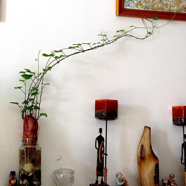 Sweet Potato Indoor Vine Indoor Vines
