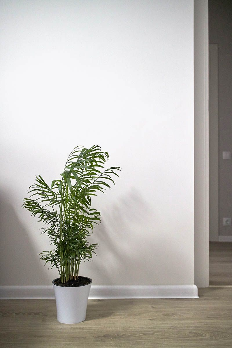 Areca palm care tips how to grow dypsis lutescens in