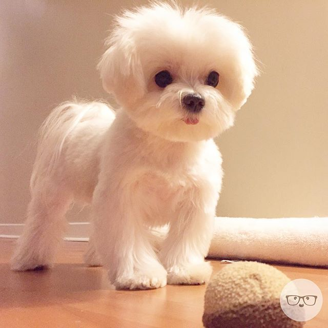 maltese puppy cut pictures instagram photo by milomeetsworld via ink361 com 8690