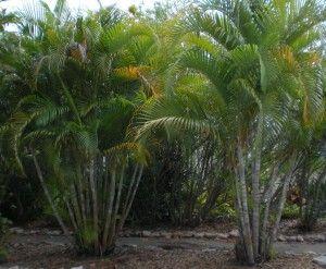 Areca Palm Areca Palm Palm Trees Palm