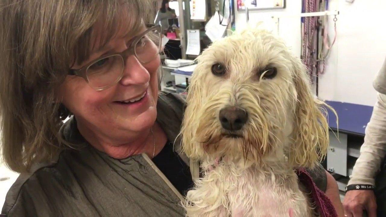 Labradoodles rescued labradoodle pet care puppy mills