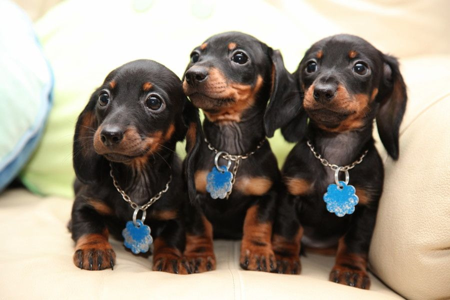 Adorable Dachshund Puppies Animals Dachshund Puppies Funny
