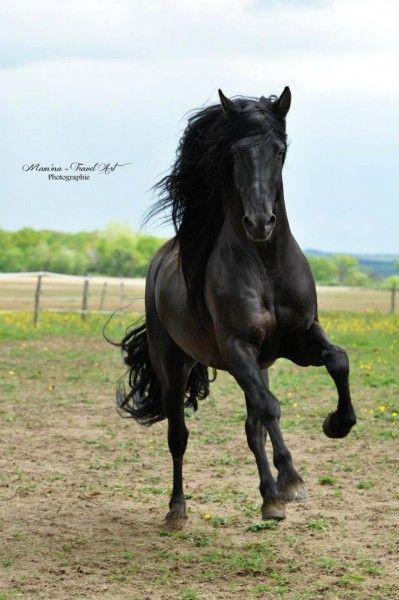 Pur Race Espagnol Wallpaper Recherche Google Andalusian Horse Horses Animals