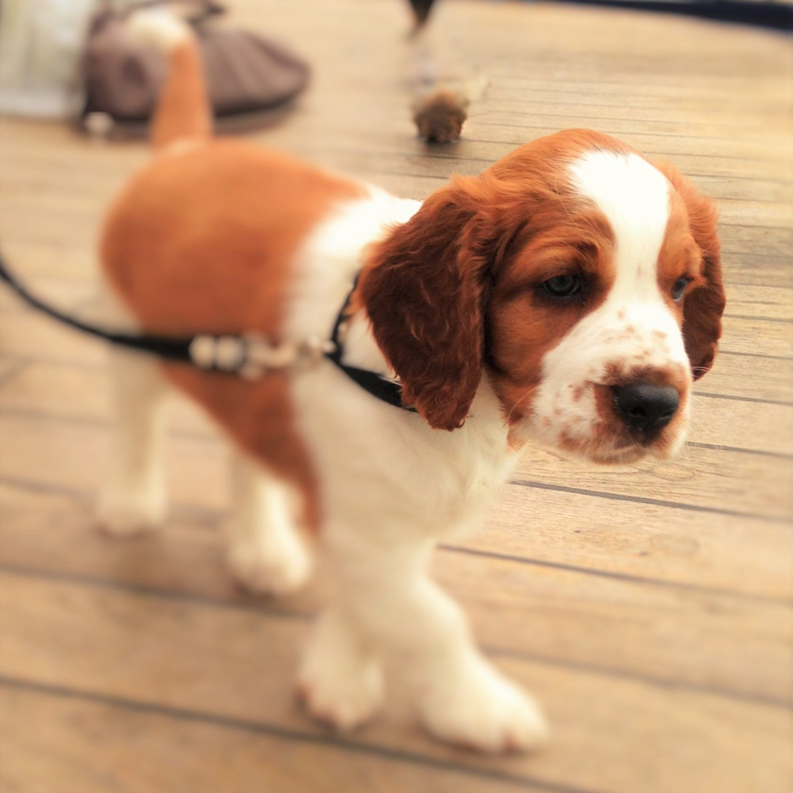 Milton as a puppy on the ferry home from Sweden. #welshspringerspaniel #Lisalyckens kennel