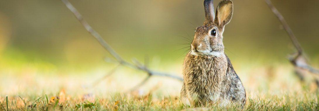 Rabbit Symbolism Rabbit Meaning Rabbit Totem Rabbit Dream And