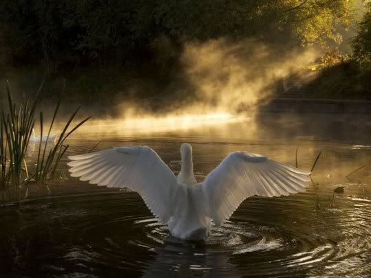 Swan on the River Avon, England