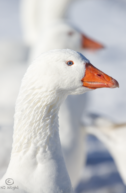 Njwight White On White With Images Pet Birds Birds