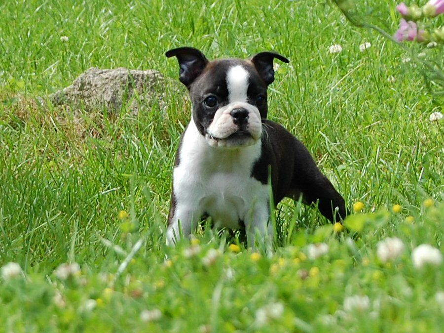 Puppies Boston Terrier Dog Breed Puppies Boston Terrier