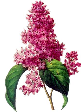 Клипарт «цветущие деревья» и ветки. Обсуждение на ...