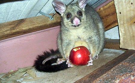 Possum Proofing   Pest Control Empire