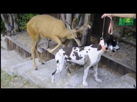 deer mating  deer mating with dog mating video