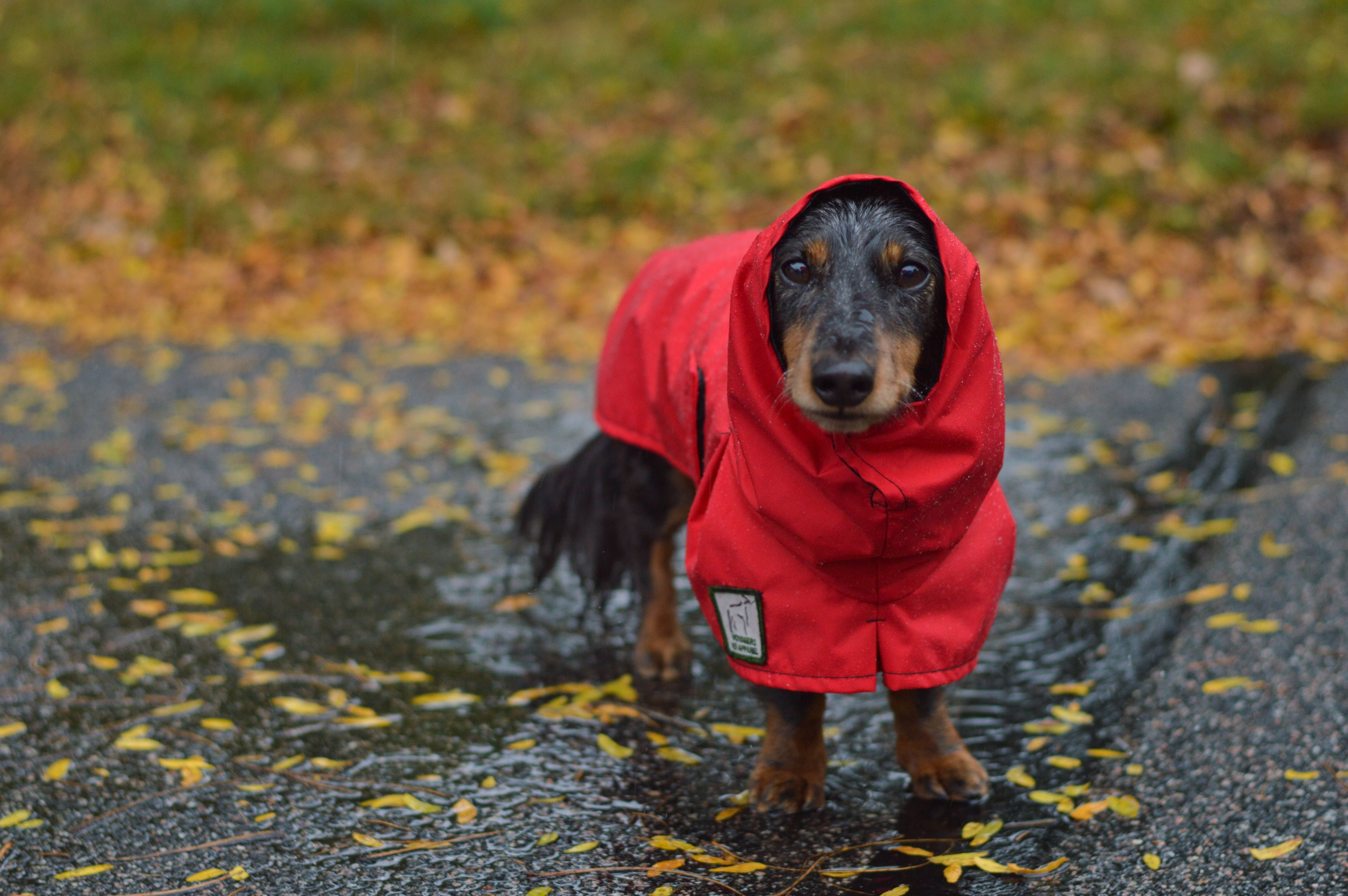Dachshund Clothing Leads Accessories