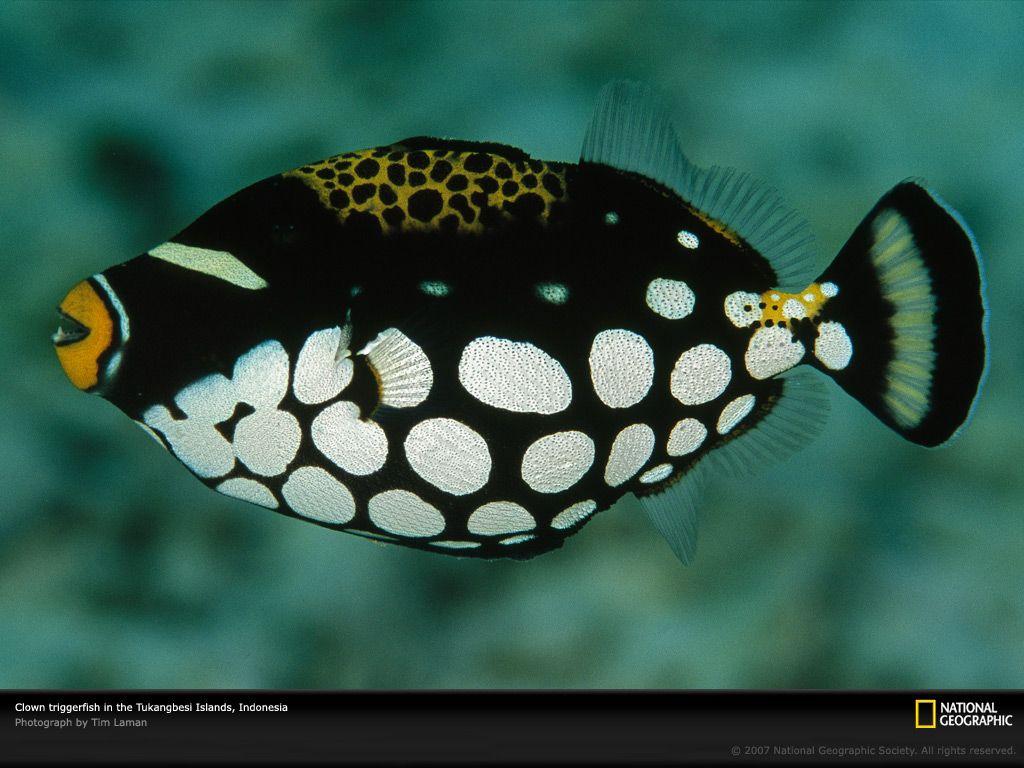 Clown Triggerfish \