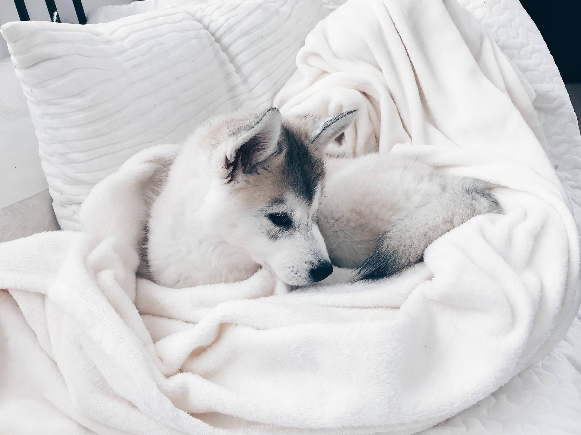 Hunde Facts zur sibirischen Husky Dame Sky, Alltag mit